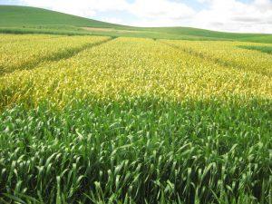 experimental winter wheat field