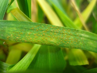 Stripe rust observed in a commercial winter wheat field in Lincoln County, Washington on April 22, 2020