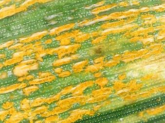 Stripe rust on triticale variety 'Trical 158EP' in Visalia, California (photo of Gene Aksland, April 20, 2020)