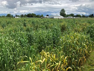 Severe stripe rust in an experimental field in Mount Vernon (Skagit County), Washington (May 12, 2020).