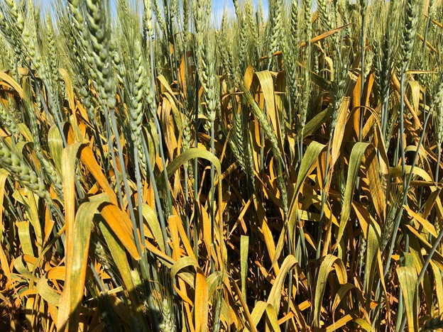 Severe stripe rust on a susceptible spring wheat variety in an experimental field near Pullman, Washington (pictured on July 16, 2020)