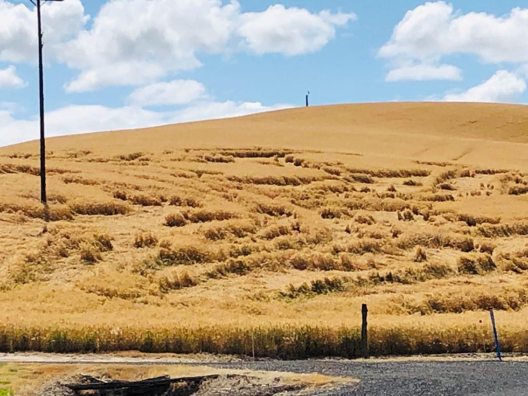 Figure 2. Lodge in a winter wheat field near Walla Walla (Walla Walla County), Washington (June 30, 2020).