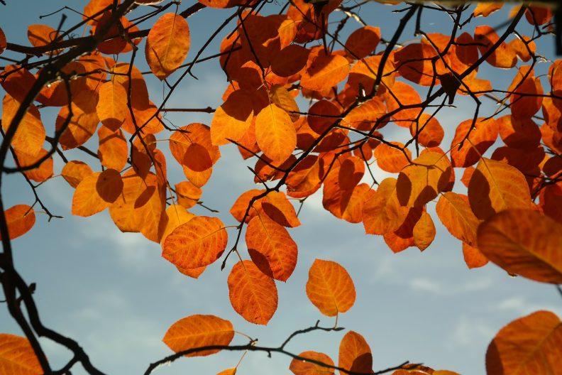 Orange leaves and a blue sky
