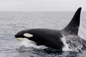 Orca Whale jumping out of the water