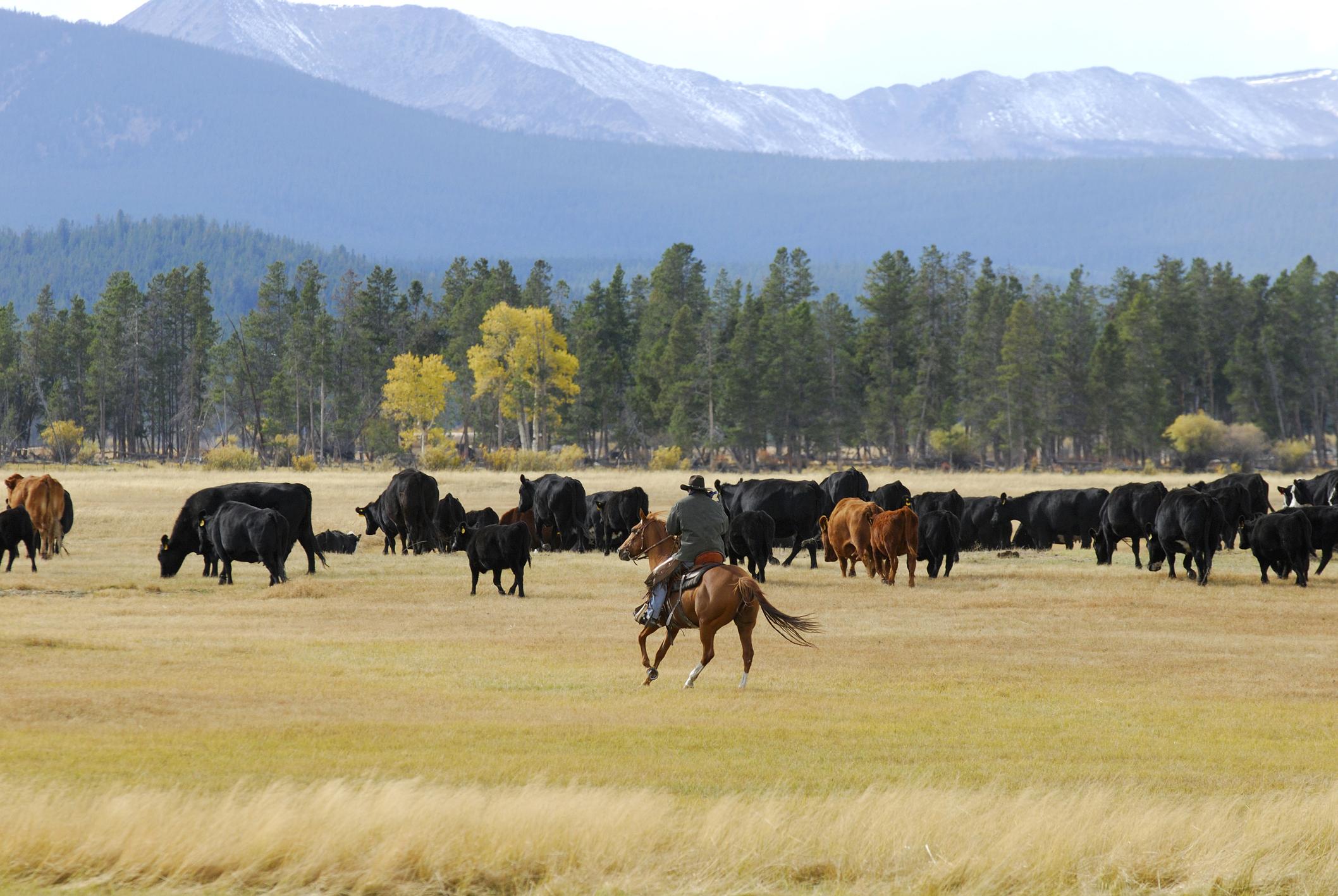 A horseman riding through a herd of cattle
