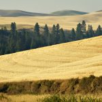 Rolling wheat fields with evergreens and more rolling hills in the distance