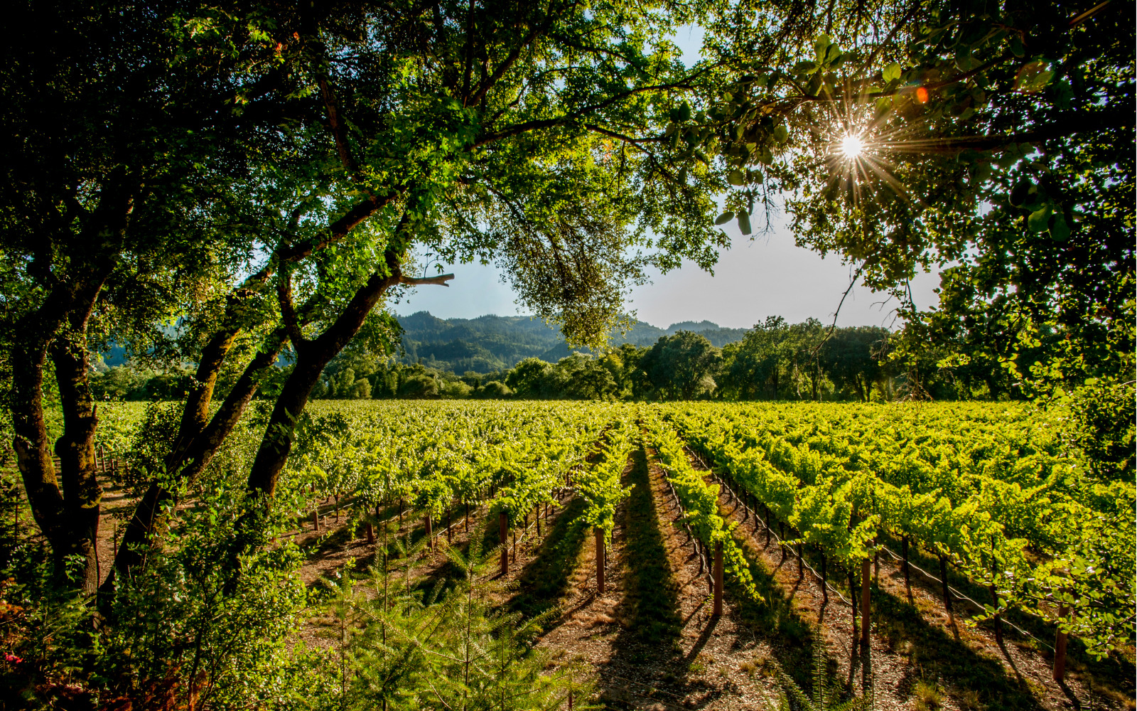 Trees surrounding a vineyard on a sunny day.