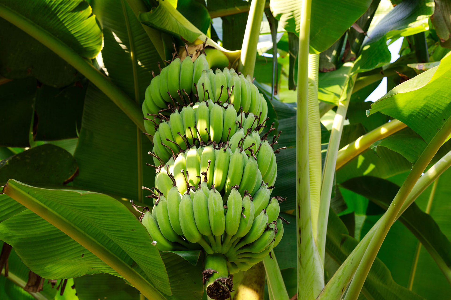 A branch of green bananas on a banana plant.