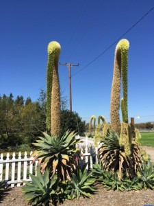 A view of two tall desert plants
