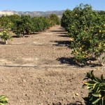 A view down a row of what appears to be a citrus orchard in an arid environment
