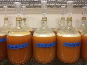 Image of carboys of fermenting apple juice.