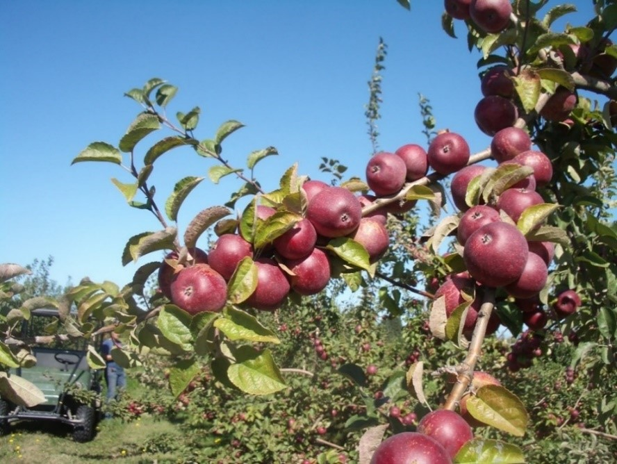 Cider Apple Variety: Kingston-Black