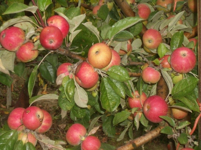 Cider Apple Variety: Amere-Forestier