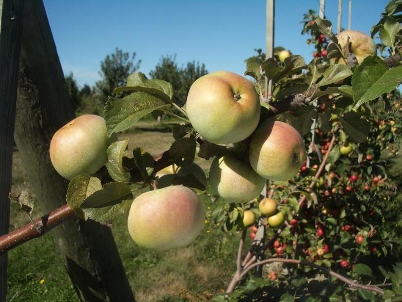 Cider Apple Variety: Amere-de-Berthcourt
