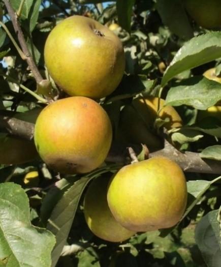 Cider Apple Variety: Ashmeads-Kernel