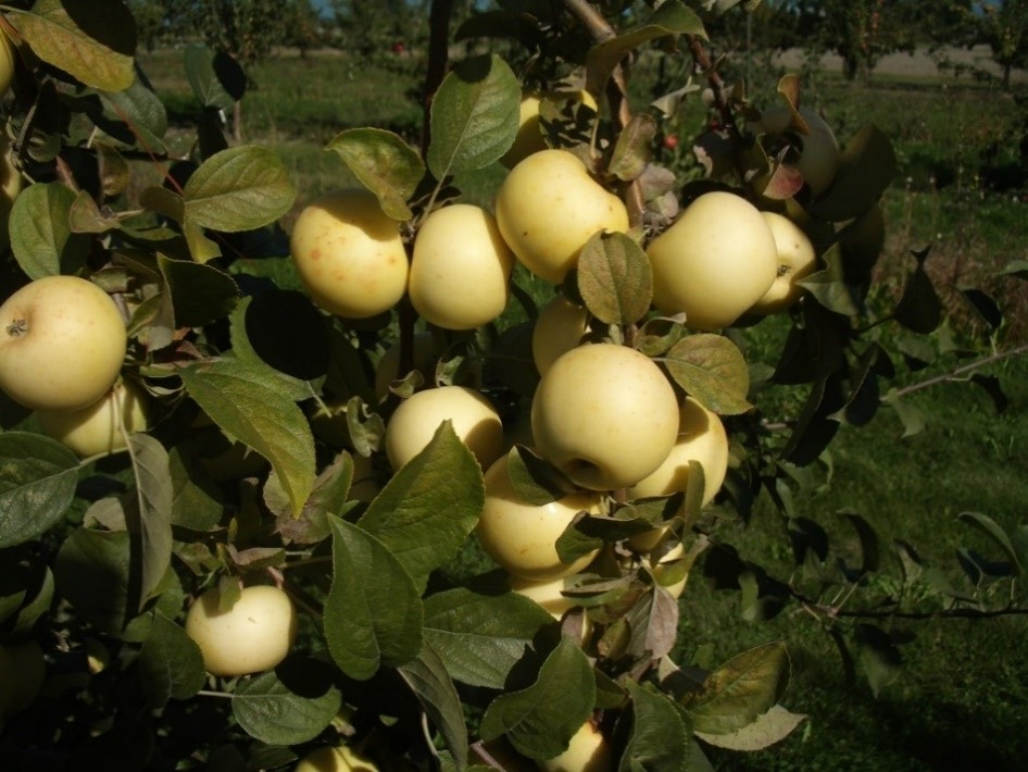 Cider Apple Variety: Blanc-Mollet