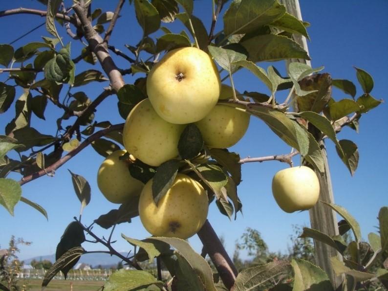 Cider Apple Variety: Bouteville