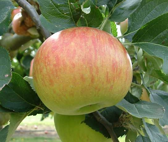Cider Apple Variety: Bramleys-Seedling