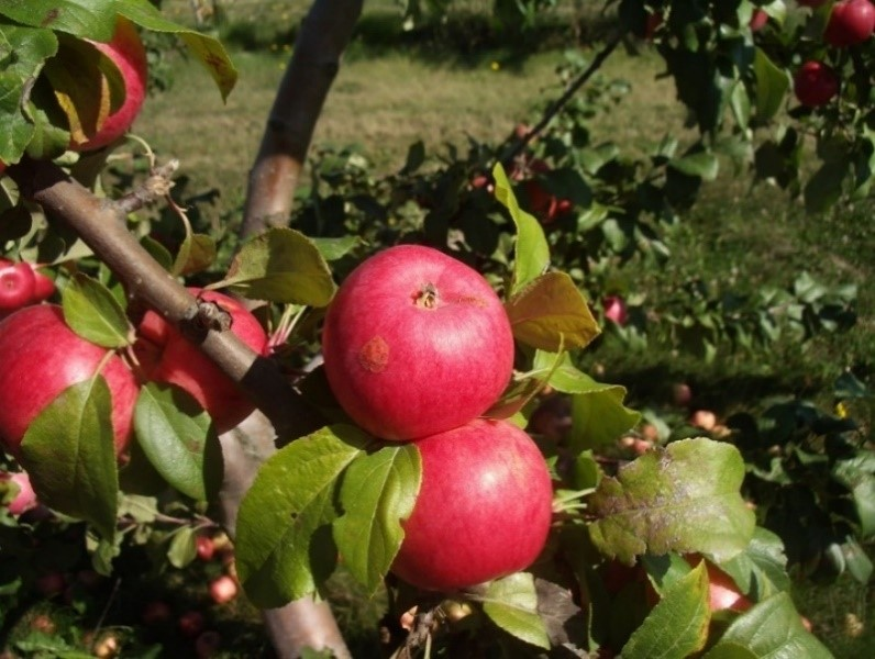 Cider Apple Variety: Breakwell-Seedling