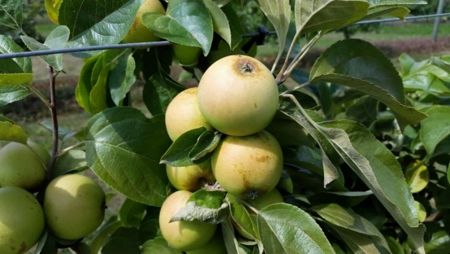 Cider Apple Variety: Brown-Snout