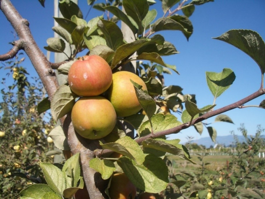 Cider Apple Variety: Brown-Thorn