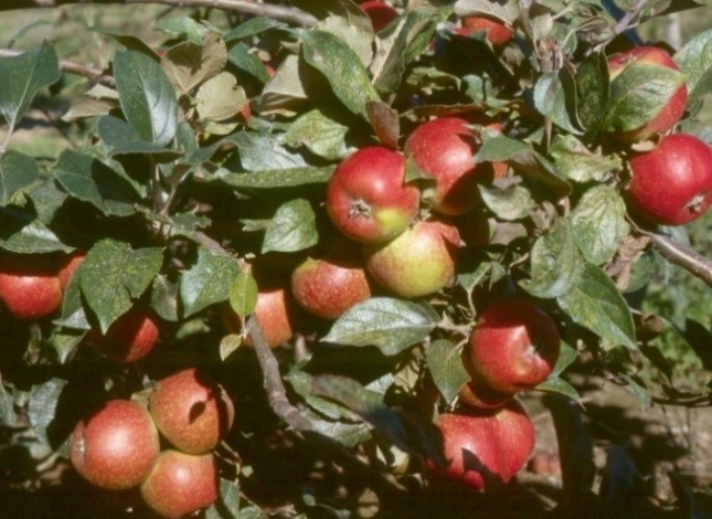 Cider Apple Variety: Browns-Apple