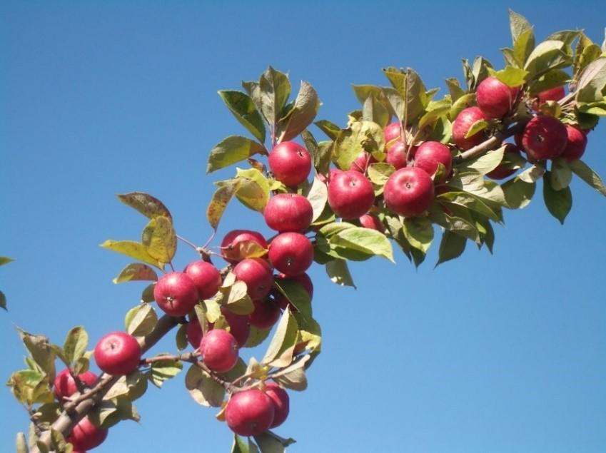 Cider Apple Variety: Chisel-Jersey