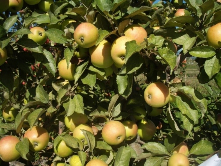 Cider Apple Variety: Cimitiere