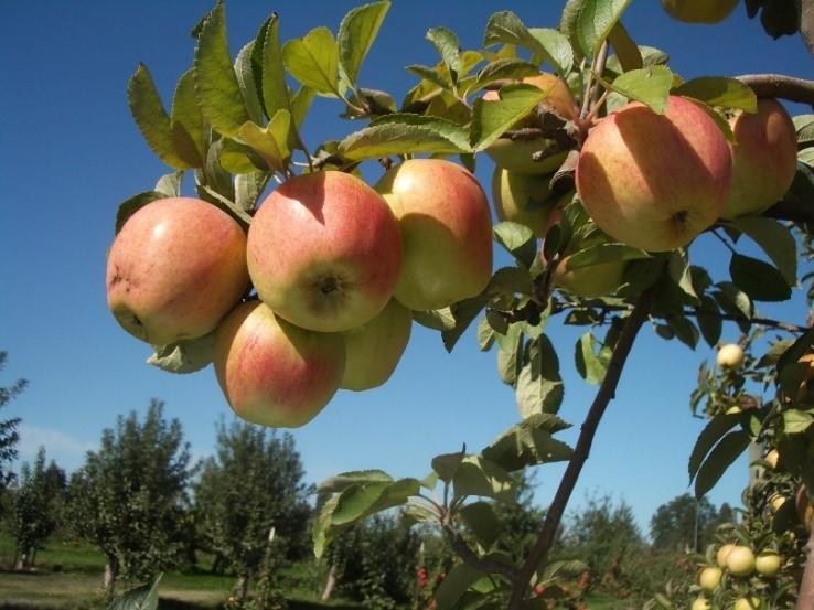 Cider Apple Variety: Finkenwerder-Herbstprinz