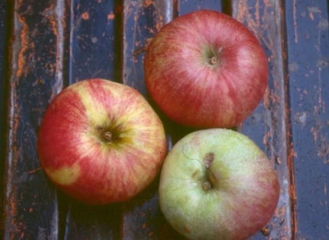 Cider Apple Variety: Foxwhelp