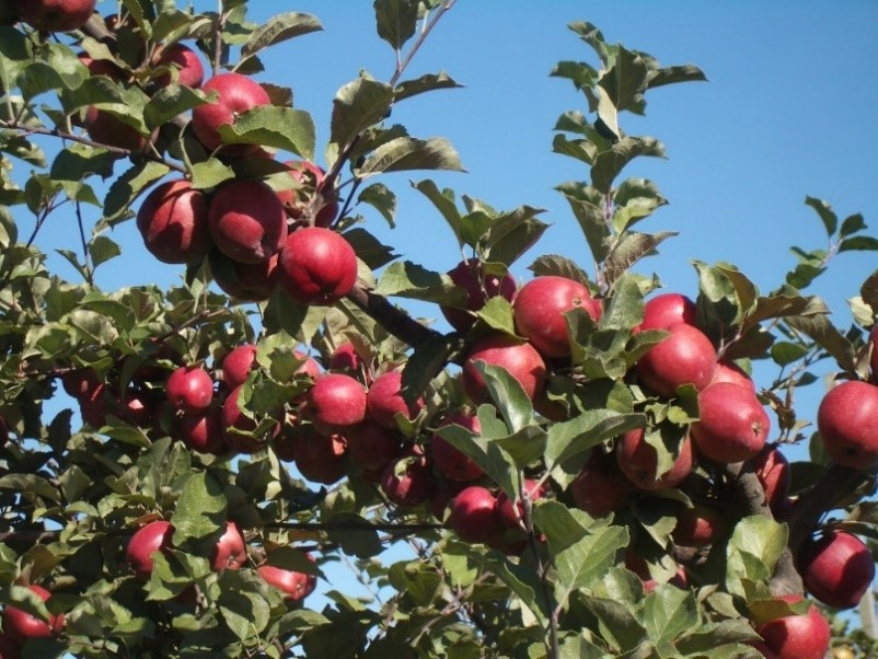 Cider Apple Variety: Frequin-Rouge