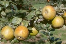 Cider Apple Variety: Golden-Russet