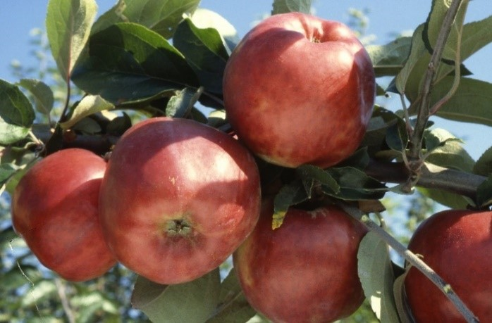 Cider Apple Variety: Gravenstein-Red-Worthen-cv