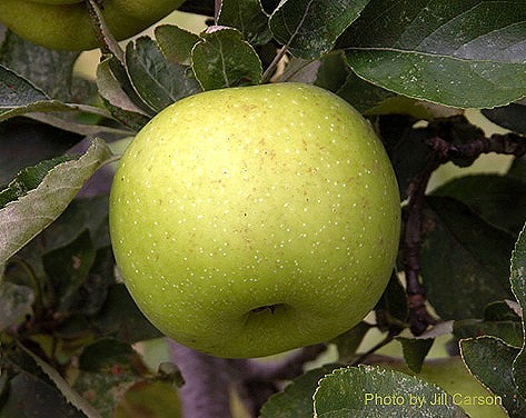 Cider Apple Variety: Grimes-Golden