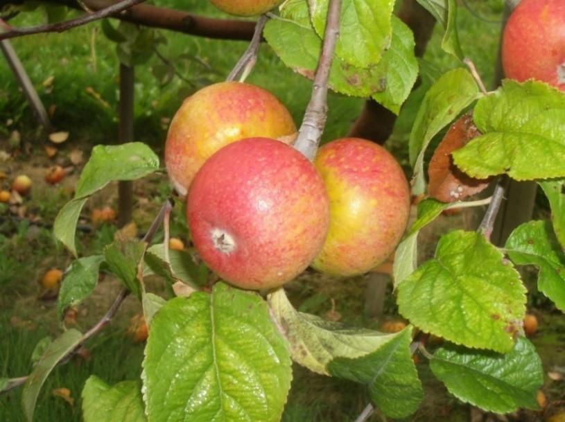 Cider Apple Variety: Grindstone