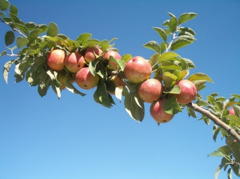 Cider Apple Variety: Kermerrien