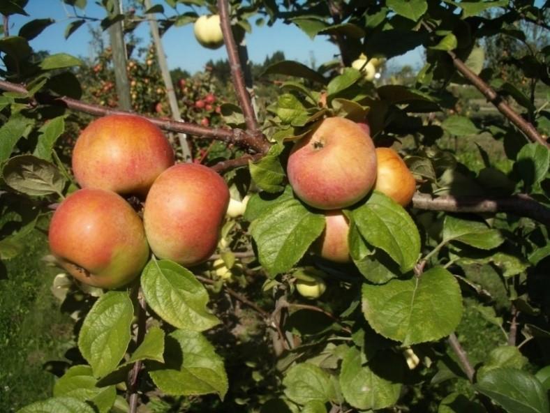 Cider Apple Variety: Lambrook-Pippin.jpg