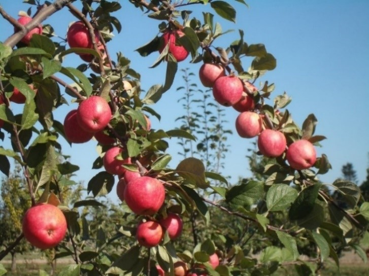 Cider Apple Variety: Major