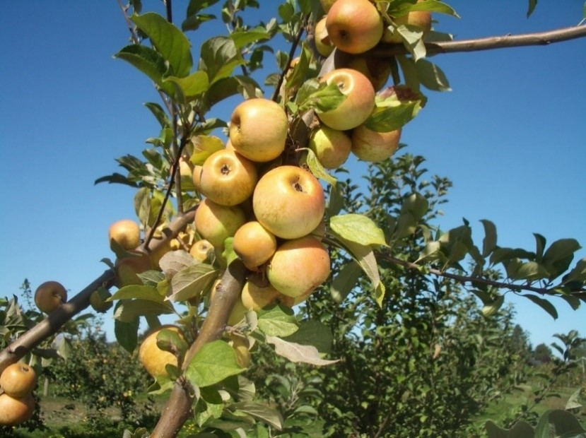 Cider Apple Variety: Medaille-D-Or