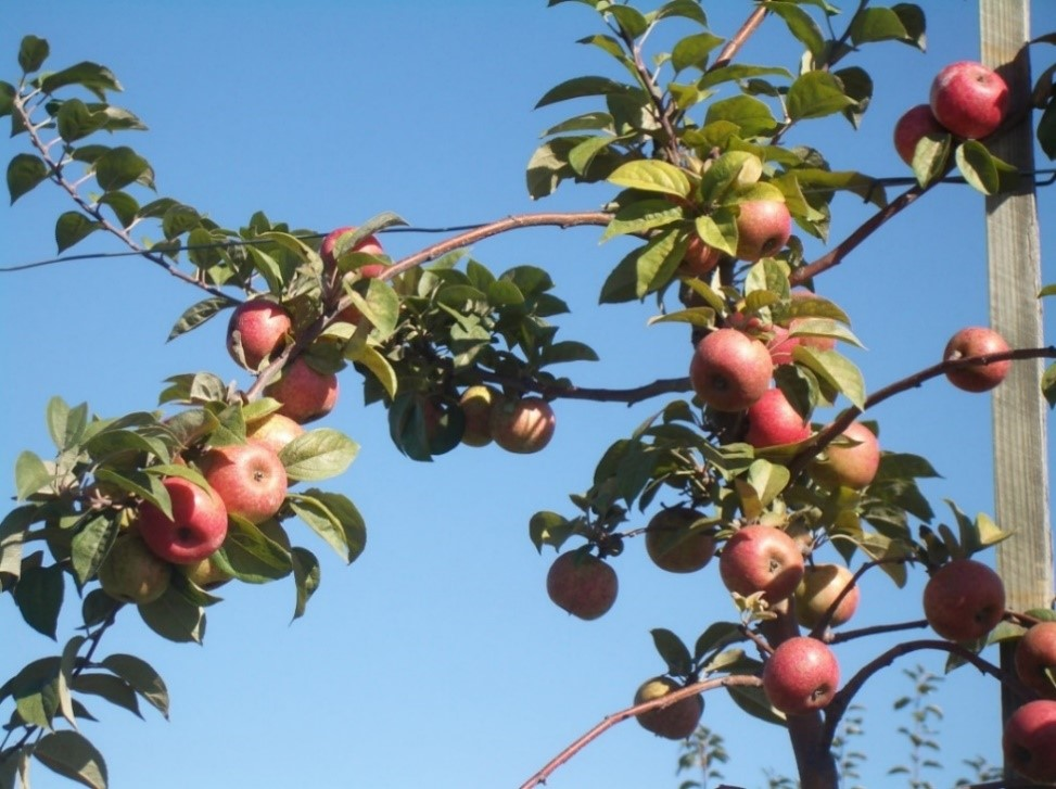 Cider Apple Variety: Mettais