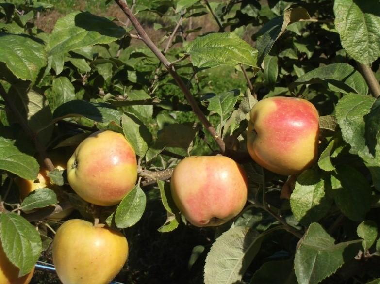 Cider Apple Variety: Mott-Pink