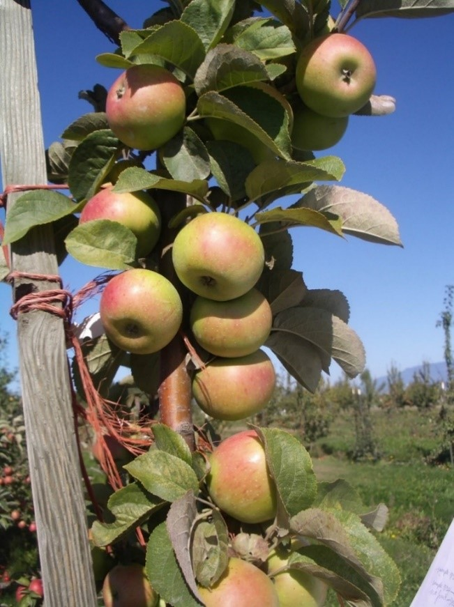 Cider Apple Variety: Muscat-de-Bernay