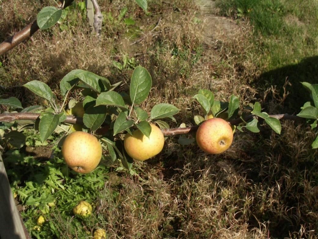 Cider Apple Variety: Nehou