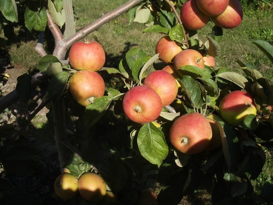 Cider Apple Variety: Peau-de-Vache