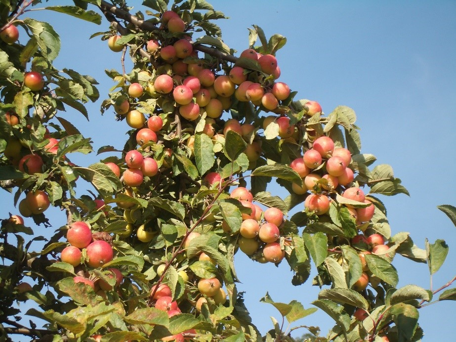 Cider Apple Variety: Puget-Spice