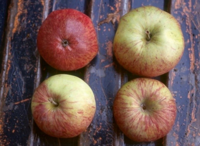 Cider Apple Variety: Redstreak