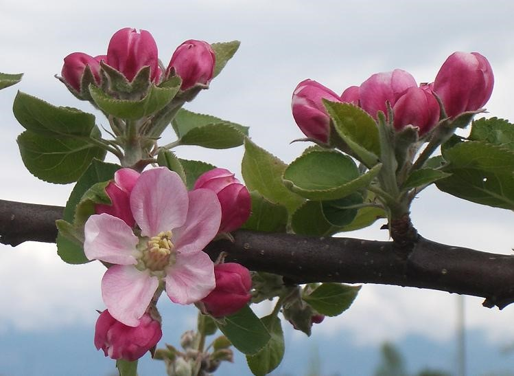 Cider Apple Variety: Reine-des-Pommes