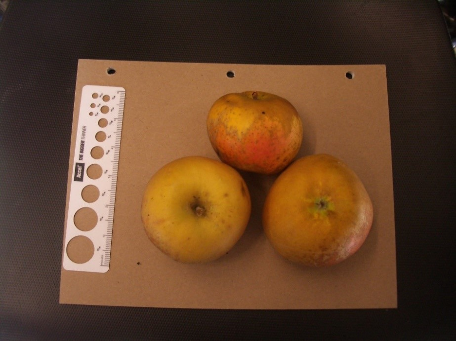 Cider Apple Variety: Roxbury-Russet