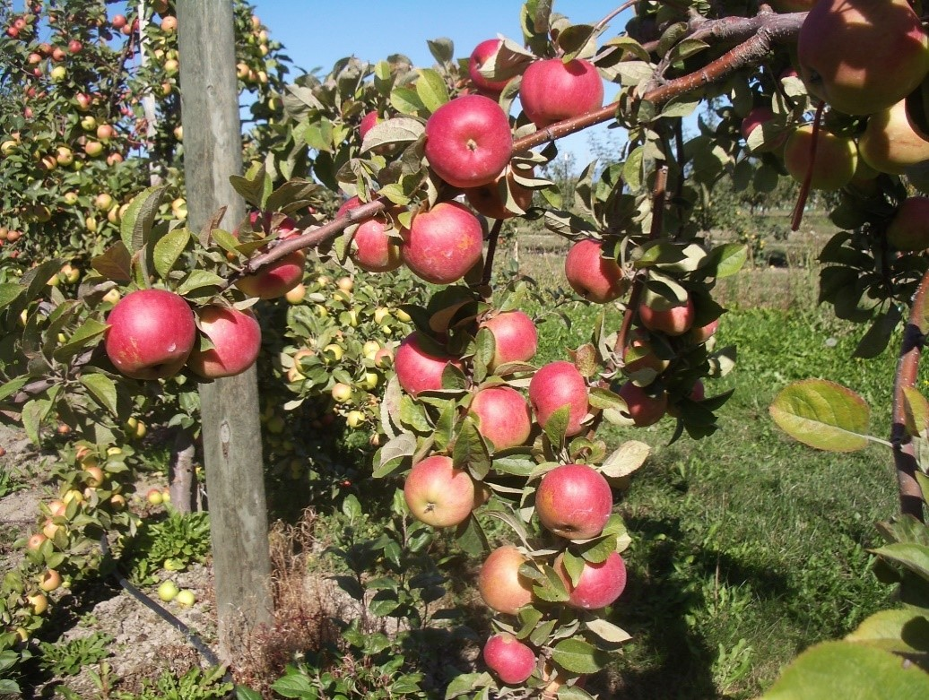 Cider Apple Variety: Sweet-Alford
