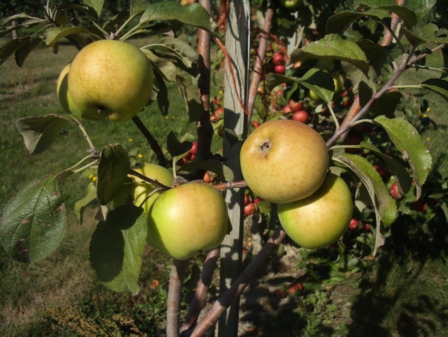 Cider Apple Variety: Taliaferro-Colaw